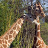 Giraffe's enjoying the attention